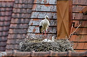 White Stork (Ciconia ciconia), nesting in the village of Bourogne, Territory of Belfort, France
