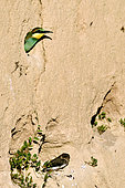 European Bee-eater (Merops apiaster), nesting in the lower valley of the river Bourbeuse, Territory of Belfort, France. Young Bee-eater in nest and young Sand Martin (Riparia riparia)