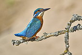 Common Kingfisher (Alcedo atthis) on the lookout on a branch, Espace naturel de l'Allan, Doubs, France