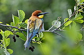 European Bee-eater (Merops apiaster), nesting in the lower valley of the river Bourbeuse, Territory of Belfort, France