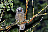 Long-eared Owl (Asio otus) chick having left the nest on a branch, France