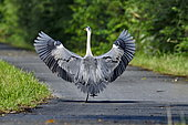 Grey heron (Ardea cinerea) wings spread on the green flow of the Haute Saône canal in Brognard, Doubs, France