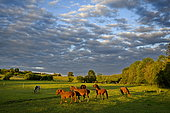 Horses in pasture on the plateau of Brognard, Doubs, France