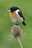 Siberian Stonechat (Saxicola torquata) male on a thistle, hunting to feed its chicks, Doubs, France