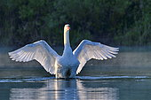 Mute swan (Cygnus olor) spreading its wings, natural area of the Allan in Brognard, Doubs, France