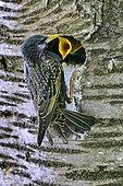 Common Starling (Sturnus vulgaris) nesting in a tree trunk, feeding, France