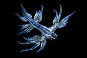 Blue glaucus (Glaucus atlanticus), Pelagic Nudibranch, Tahiti, French Polynesia