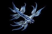 Dragon bleu des mers (Glaucus atlanticus), Nudibranche pélagique, Tahiti, Polynesie Française