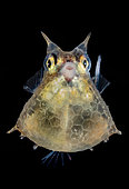 Roundbelly cowfish (Lactoria diaphana) juvenile, Tahiti, French Polynesia