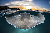 Pink whipray (Pateobatis fai) on the surface at sunset in a lagoon, French Polynesia