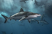 Grey reef shark (Carcharhinus amblyrhynchos) below the surface, Tahiti, French Polynesia