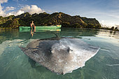 Child observing a Pink whipray (Pateobatis fai) from a kayak in a lagoon, Moorea, French Polynesia