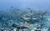 Tiger shark (Galeocerdo cuvier) and Blacktip reef shark (Carcharhinus melanopterus) above the bottom, Tahiti, French Polynesia
