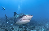 Tiger shark (Galeocerdo cuvier) above the bottom, Tahiti, French Polynesia