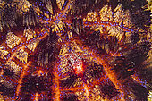 Fire Urchin (Asthenosoma varium) with a pair of Coleman's shrimp (Periclimenes colemani), Komodo National Park, Indonesia