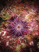 Burrowing urchin (Echinometra mathaei), Tahiti, French Polynesia