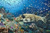 Starry toadfish (Arothron stellatus) and Anthias (Pseudanthias sp) over a colored reef, Komodo, Indonesia