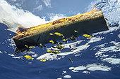 Drifting banana tree trunk and juvenile Psenes (Psenes sp), Tahiti, French Polynesia