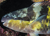 Portrait of an Egghead Parrot Fish (Scarus oviceps), Tahiti, French Polynesia