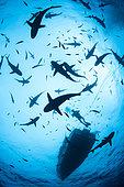 Grey reef shark (Carcharhinus amblyrhynchos) in school and scuba diver, Tahiti French Polynesia