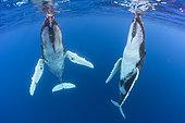 Humpback whale (Megaptera novaeangliae) pair below the surface, Tahiti, Polynesia