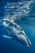 Humpback whale (Megaptera novaeangliae) below the surface, Tahiti, Polynesia