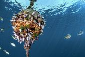 Goose barnacle (Lepas hillii) colony, Tahiti French Polynesia