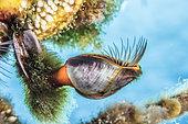 Goose barnacle (Lepas hillii), Tahiti French Polynesia