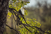 African fish eagle standing in branch in backlit in Kruger National park, South Africa ; Specie Haliaeetus vocifer family of Accipitridae