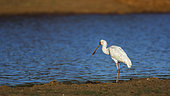 African spoonbill (Platalea alba) along the river in Kruger National park, South Africa ; Specie