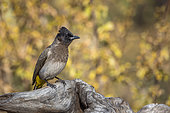 Dark capped Bulbul (Pycnonotus tricolor) standing on log isolated in natural background in Kruger National park, South Africa