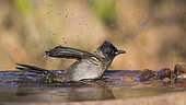 Dark capped Bulbul (Pycnonotus barbatus) bathing in water pond in Kruger National park, South Africa