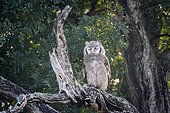 Verreaux Eagle-Owl standing in log at dawn in Kruger National park, South Africa ; Specie Bubo lacteus family of Strigidae