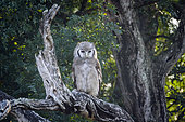 Verreaux Eagle-Owl (Bubo lacteus) standing in log at dawn in Kruger National park, South Africa
