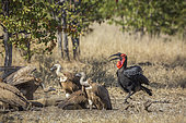 Southern Ground Hornbills and white-backed vultures in Kruger National park, South Africa ; Specie Bucorvus leadbeateri family of Bucerotidae