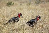 Two Southern Ground Hornbill (Bucorvus leadbeateri) walking in savannah in Kruger National park, South Africa