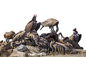 Lappet faced and white backed Vultures isolated on white in Kruger National park, South Africa ; Specie  Torgos tracheliotos and Gyps africanus family of Accipitridae