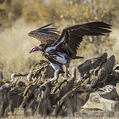 Lappet faced (Torgos tracheliotos) and white backed Vultures (Gyps africanus) on carcass in Kruger National park, South Africa