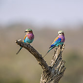 Couple of Lilac breasted roller (Coracias caudatus) standing on a log in Kruger National park, South Africa