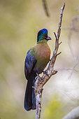 Touraco à huppe splendide (Gallirex porphyreolophus) sur une branche, parc national Kruger, Afrique du Sud