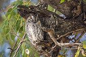 African Scops-Owl (Otus senegalensis) resting in a tree in Kruger National park, South Africa