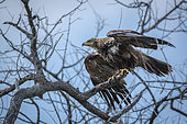 Tawny Eagle dryinig his feather after bath in Kruger National park, South Africa ; Specie Aquila rapax family of Accipitridae