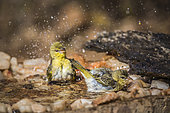 Village weaver (Ploceus cucullatus) bathing in water pond in Kruger National park, South Africa