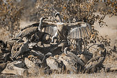 Group of White backed Vultures fighting on giraffe's carcass in Kruger National park, South Africa ; Specie Gyps africanus family of Accipitridae
