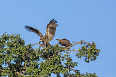 White backed Vulture (Gyps africanus) couple on top of a tree in Kruger National park, South Africa