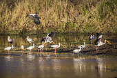Flock of Yellow-Billed stork (Mycteria ibis) and african spoonbill (Platalea alba) at dawn in Kruger National park, South Africa