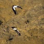 Two Yellow-Billed stork flying at dawn in Kruger National park, South Africa ; Specie Mycteria ibis family of Ciconiidae