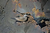 Brown Noddy (Anous stolidus) on cliff, La Reunion island