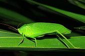 Bush-cricket (Holochlora biloba) on a leaf, Reunion Island