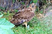 Reunion Marsh-Harrier (Circus maillardi) on ground, Reunion island
